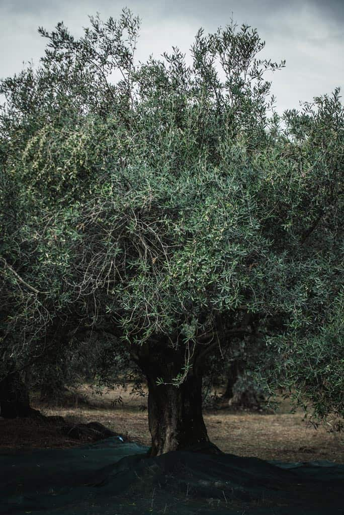 olive-tree-terroir
